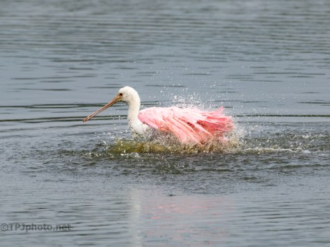 Getting Clean, Spoonbill