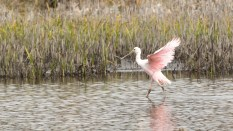 Running By, Roseate Spoonbill