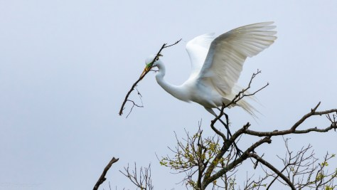 Awkward Stick, Great Egret