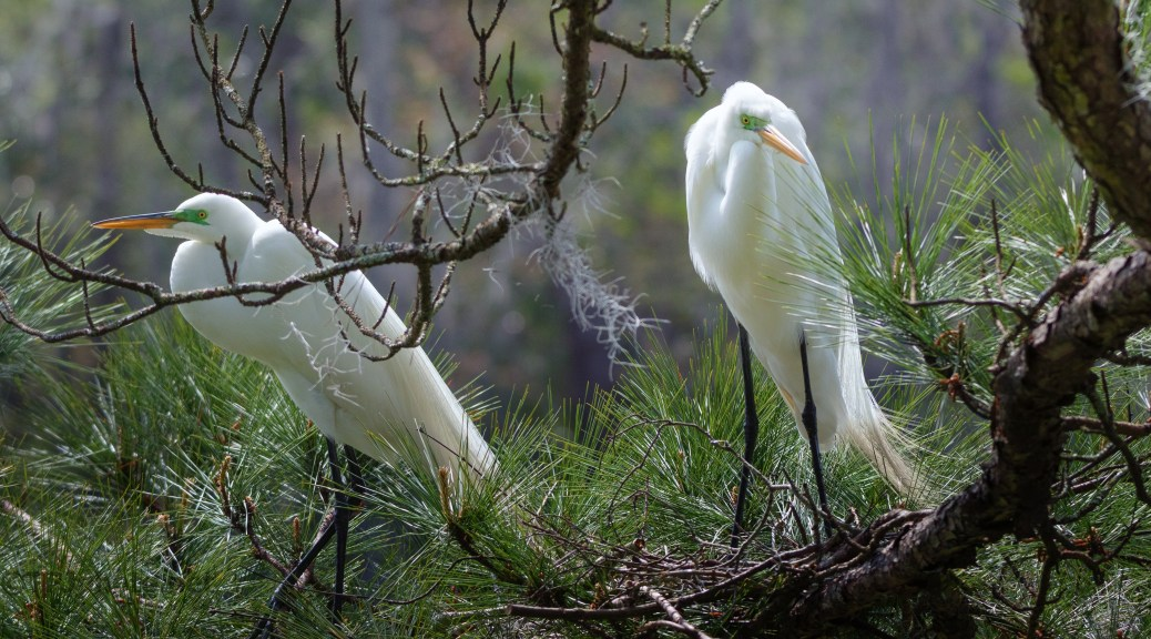 Nesting, Great Egrets