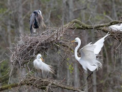 Construction, Egrets