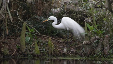 Great Egret, Hunting In A Swamp