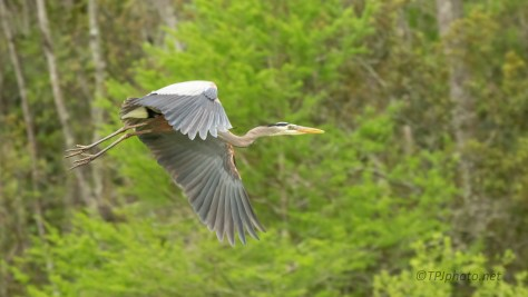 Over A Swamp, Great Blue Heron