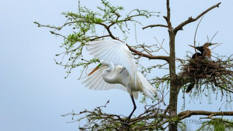 A Graceful Touchdown, Egret