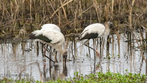 Walking With Storks (1)