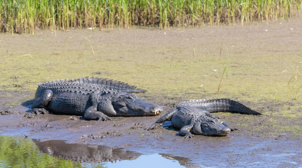 A Lovely Couple, Alligator