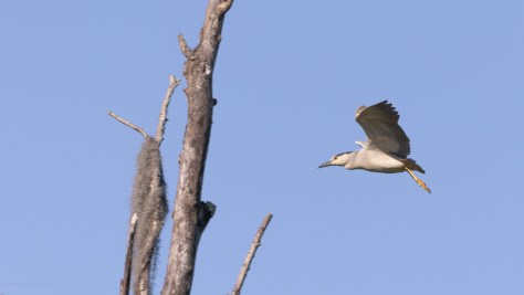 Black-crowned Night Heron, A Hidden Nest