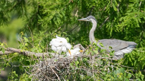 Odd Neighbors, Egret - Heron