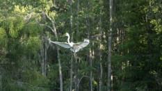 Great Egret Arrival