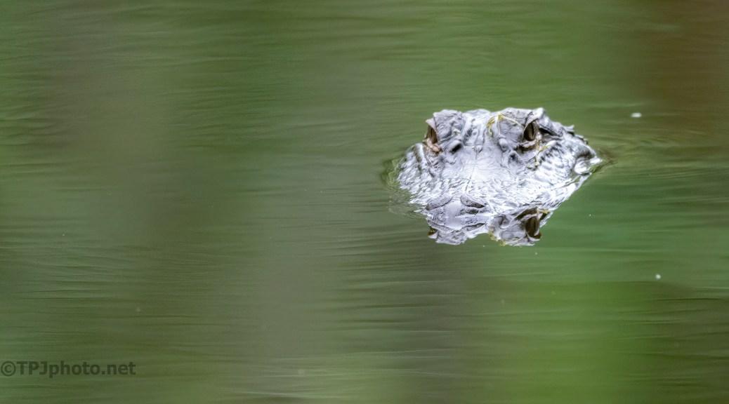 Smooth Pond, Alligator