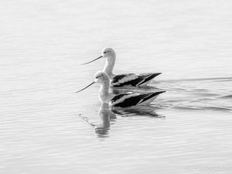 Watching The Avocet