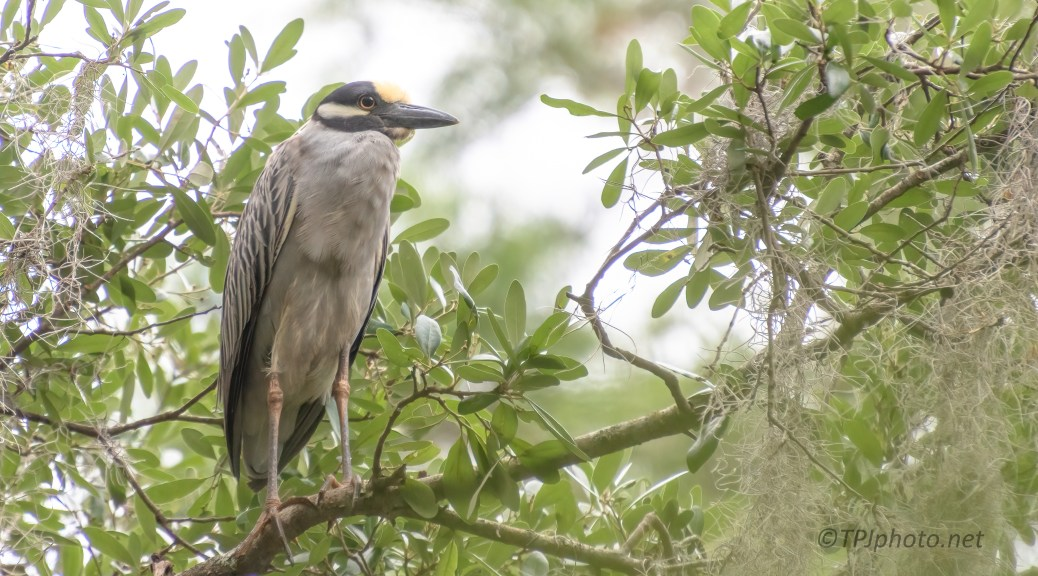 Out Of Hiding, Yellow-crowned Night Heron