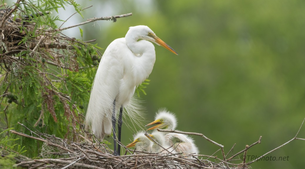 Family Portraits, Egret