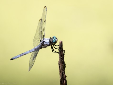Dragonfly, Long Lens