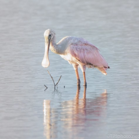 A Very Tenacious Animal, Roseate Spoonbill