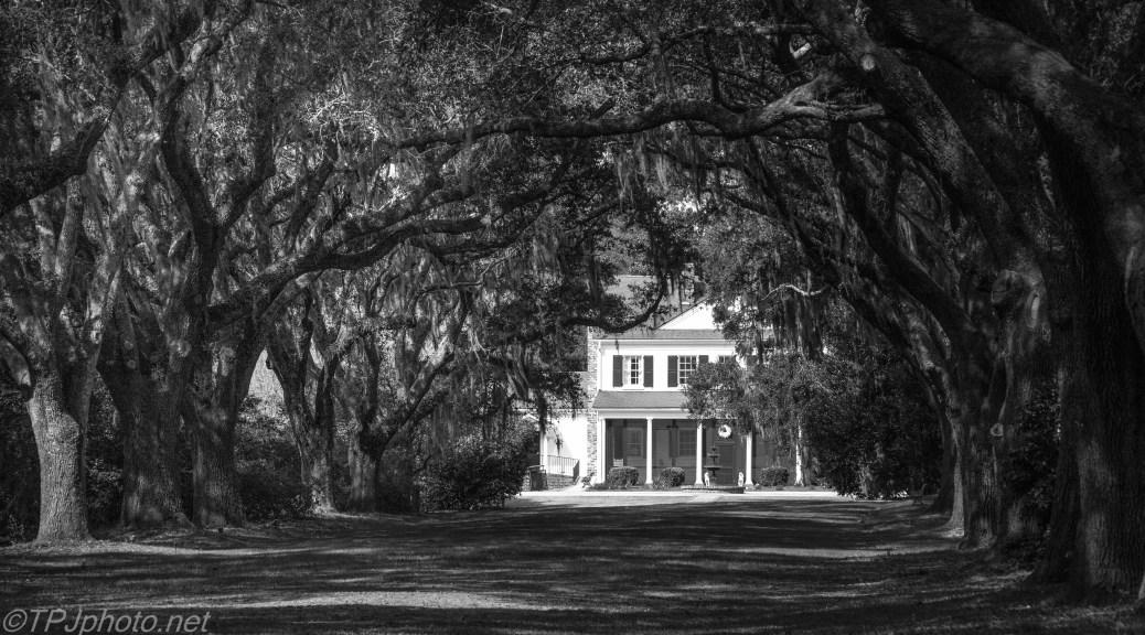 An Avenue Of Oaks