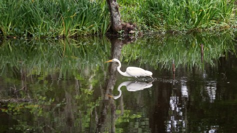 In A Pond, Egret