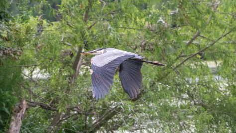 Great Blue Moving Through The Swamp