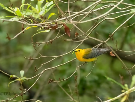 Prothonotary Warbler Feeding