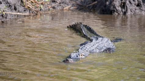 Big And Curious, Alligator