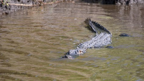 Big And Curious, Alligator