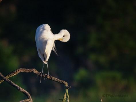 Marsh Morning, Great Egret