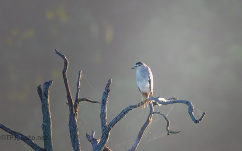 Another Morning Light Photograph, Night Heron