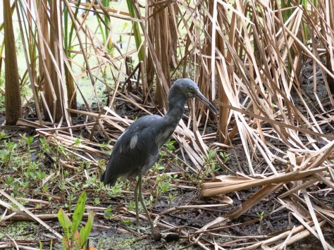 Heat Is Getting Us All, Little Blue Heron