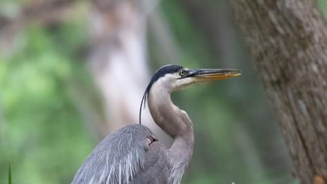 Portrait, Heron