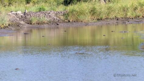 Checking A Dike, Alligator
