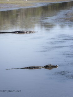 Checking A Dike, Alligator (5)