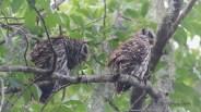 Family Portrait, Barred Owl