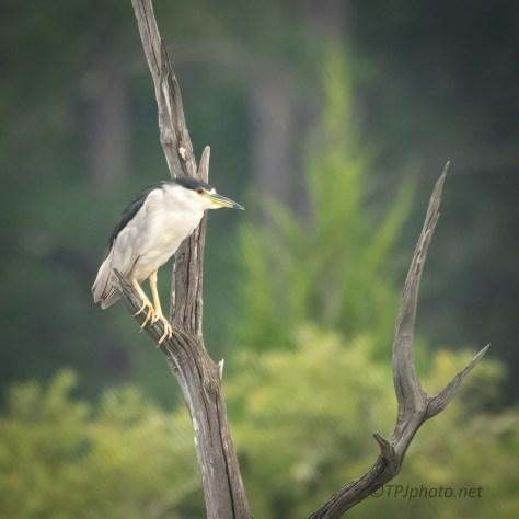 Night Heron Over A Salt Marsh