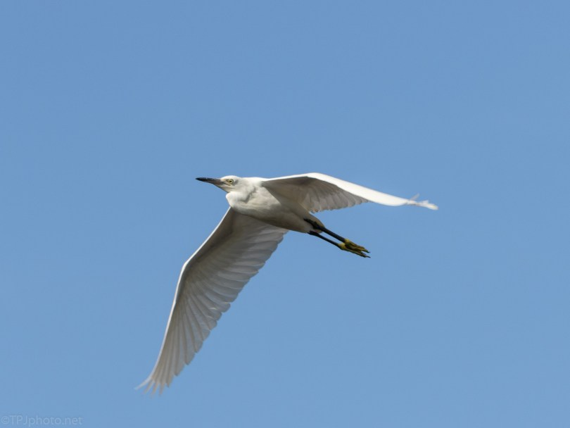 Lazy Egret Fly By