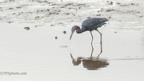 In A Shallow Marsh, Little Blue