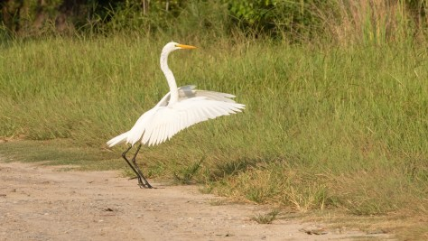 Dropped In, Great Egret