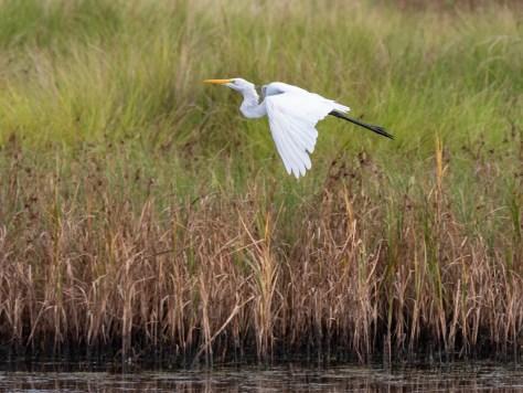 Leaving The Flock, Egret
