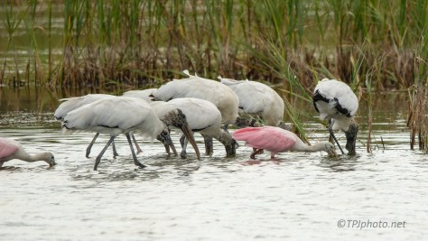 Spoonbill Joined Up With Wood Storks