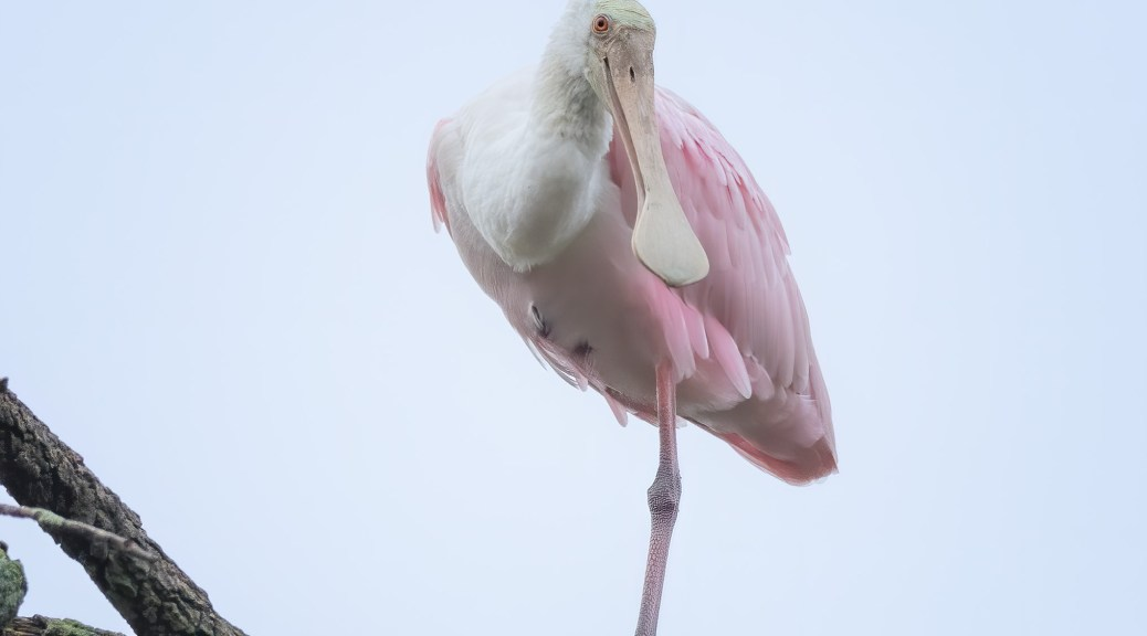 Spoonbill Watching Us