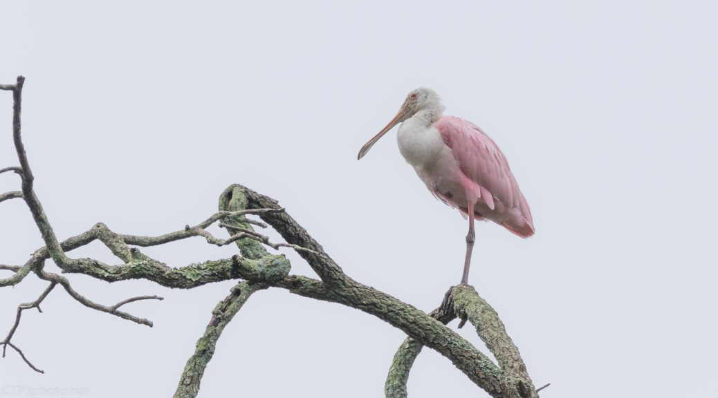 The Posing Spoonbill