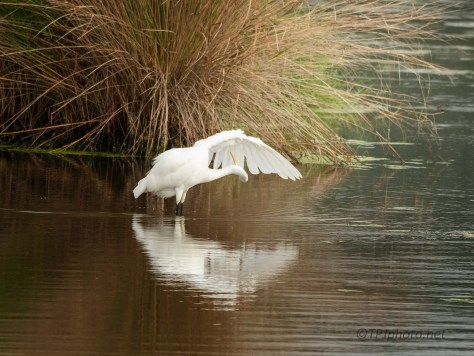 Gold Fall Reflections, Egret