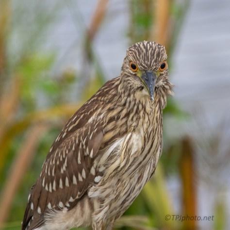Now What ? Night Heron