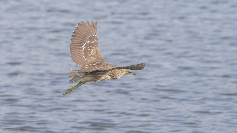 Young Heron Flying Around Me