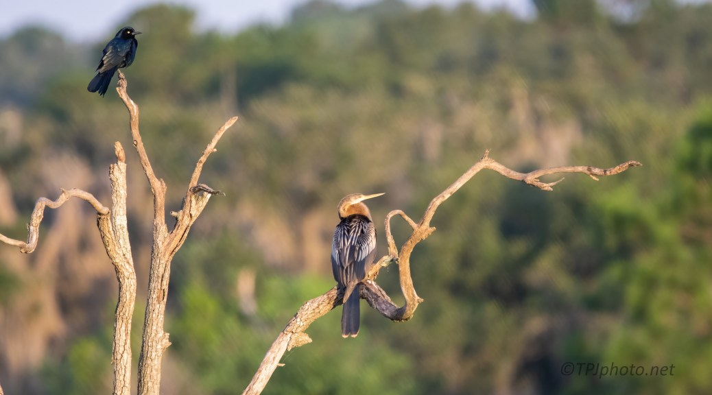 Grackle, Anhinga Early Light