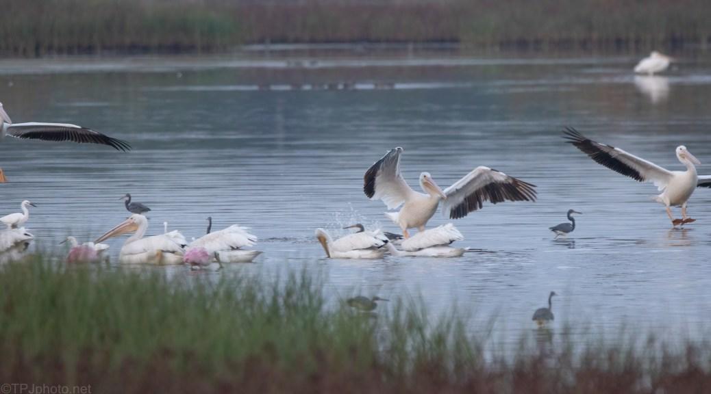 The Fishing Fleet (2), Pelicans