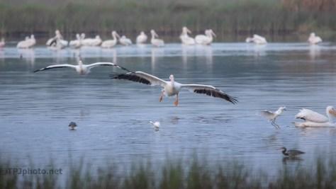 In The Flight Path, Pelican