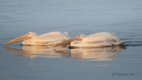 Stealthy Pelicans