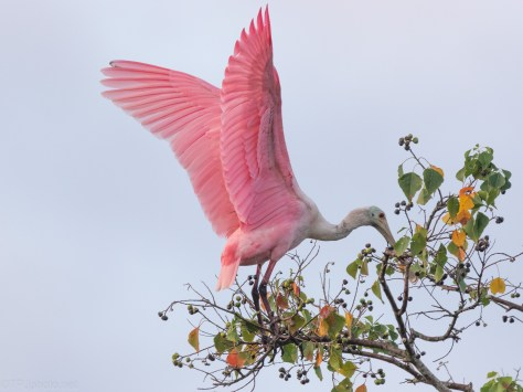 Landing Over The Canal, Spoonbill