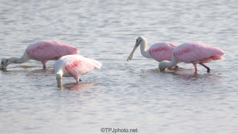 Searching The Mud, Spoonbills