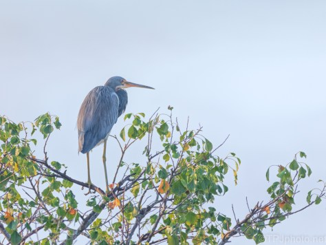Tricolored Heron In A Marsh Tree